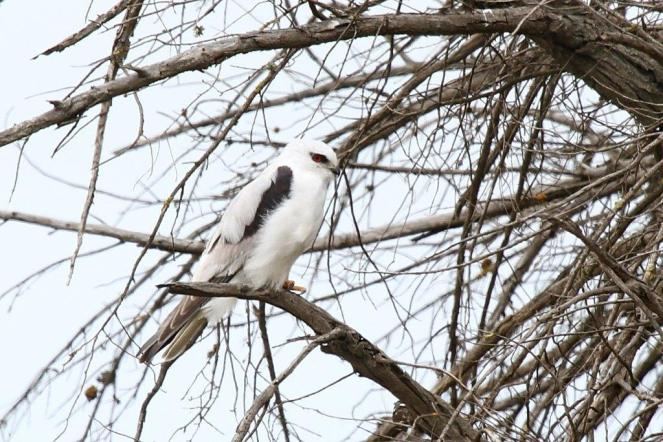 Black-shouldered Kite, Werribee