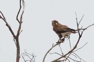 Brown Falcon, Werribee