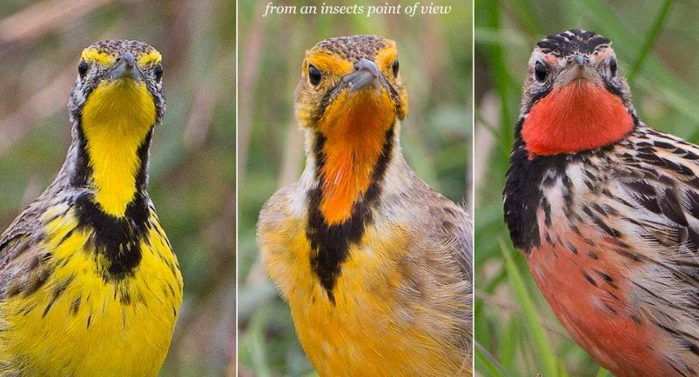 Yellow-throated, Cape & Rosy-throated Longclaws
