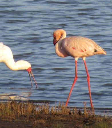 Flamingo and Spoonbill