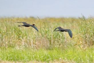 Glossy Ibis, Werribee