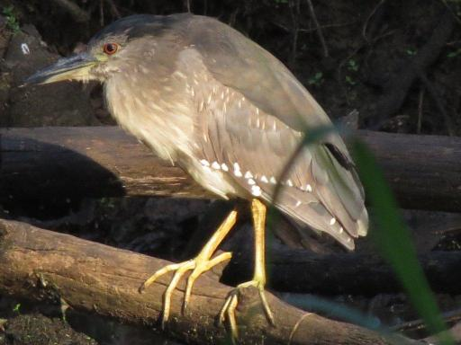 Green-backed Heron juv