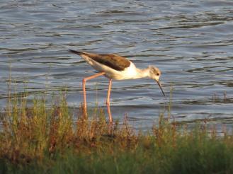 Black-winged Stilt - juvenile