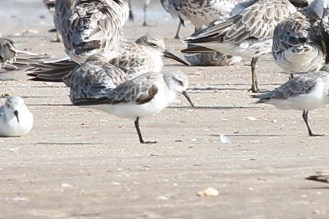 Sanderling, Buffalo Creek