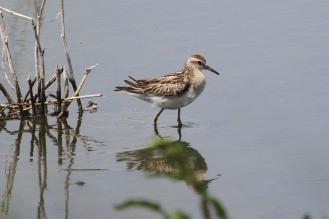 Sharp-tailed Sandpiper, Werribee