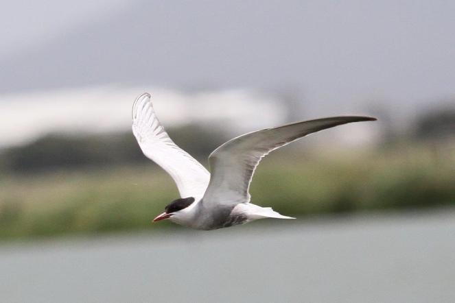 Whiskered Tern, Werribee
