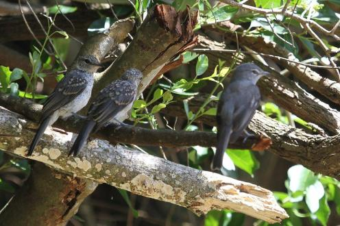 Ashy Flycatcher and young