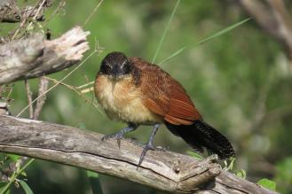 Burchell's Coucal - juvenile