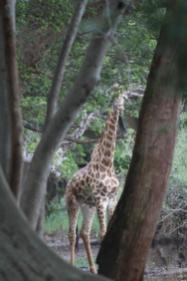 Giraffe, Peek-a-boo