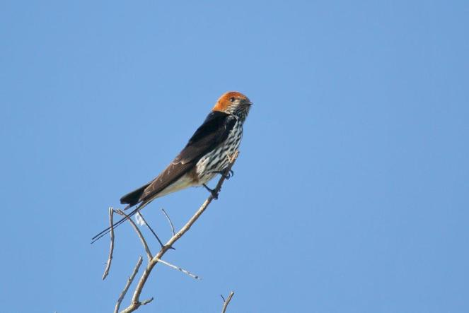 Lesser Striped Swallow,