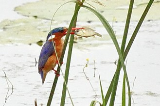What a mouthful for a Malachite Kingfisher