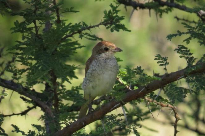 Red-backed Shrike - female,