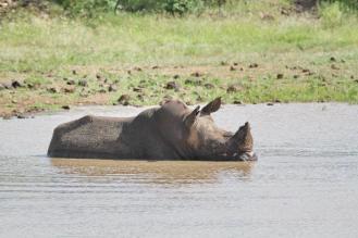 White Rhino minus one horn