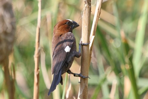 Thick-billed Weaver. All pics of weavers in same pond.