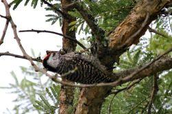 Cardinal Woodpecker - juvenile male