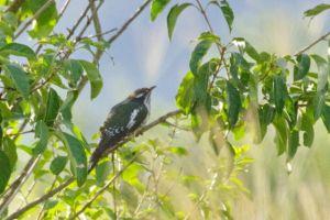 Didrick's Cuckoo - juvenile