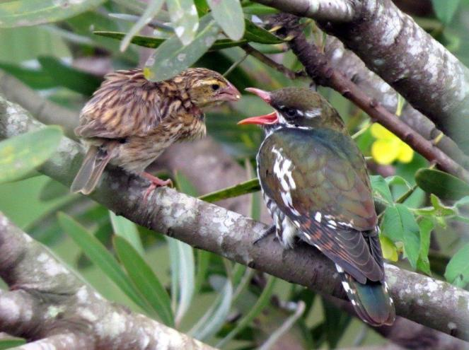 Diedrick's Cuckoo fed by Southern Red Bishop female - in Le Domaine - Photo by Frank Kihn