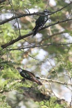 Diedrick's Cuckoos