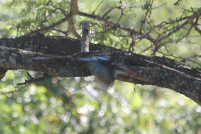 Mystery Kingfisher