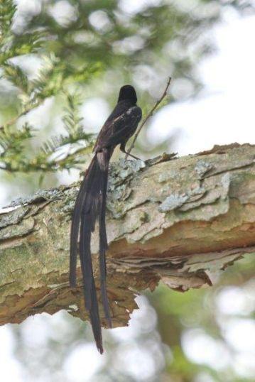 Red-collared Widowbird