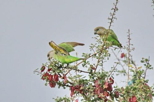 Brown-headed Parrots