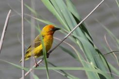 Cape Weaver - what a manic look