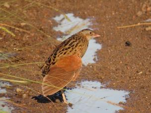 Corn Crake giving us a clue to his ID!!