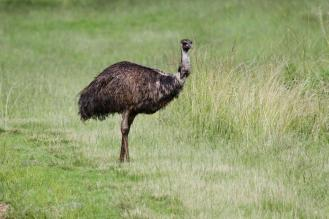 Emu on the side of the road