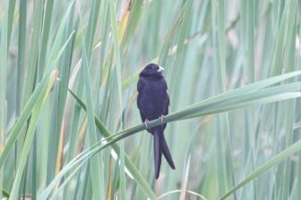 Fork-tailed Drongo - not!