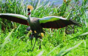 Grey Crowned Crane in display