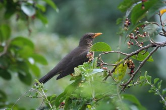 Kurrichane or Olive Thrush - which is it?
