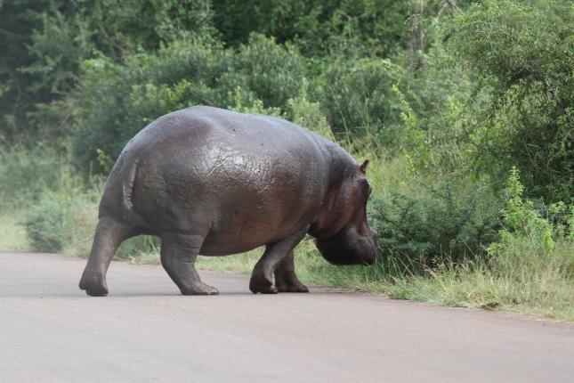 Hippo heading for a raging river