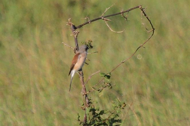 Pink-fronted Red-backed Shrike