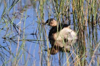 Little Grebe AHV