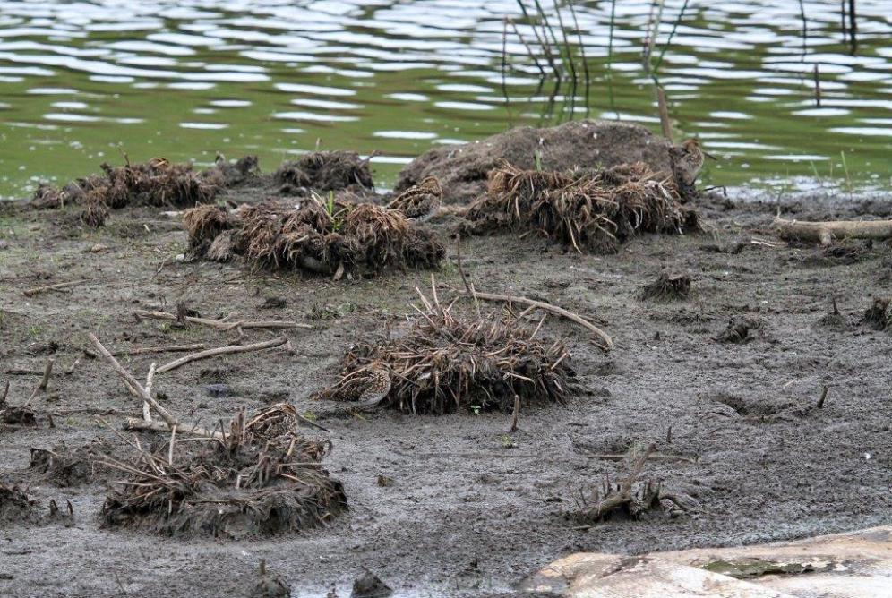 African Snipes - 2 pairs. Can you spot them?