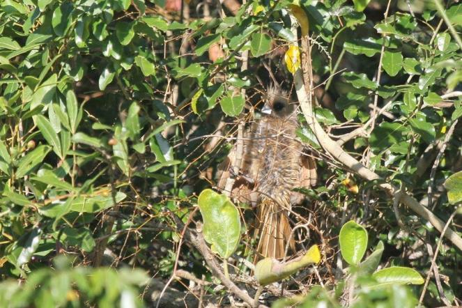 Speckled Mousebird- very bedraggled