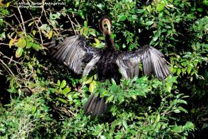 African Darter (Anhinga rufa)_D714144