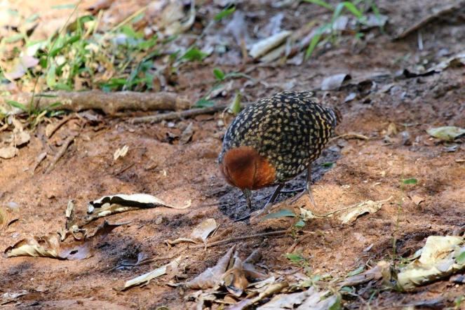 Buff-spotted Flufftail