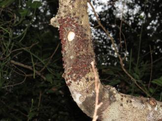 Eastern Green Tinkerbird's Nest