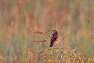Rufous-winged Cisticola