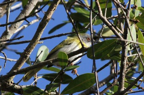 Yellow-breasted Apalis