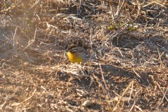 Golden-breasted Bunting-Decklan Jordaan