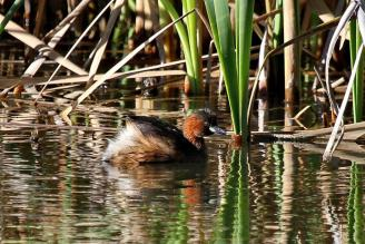 Little Grebe - Paul Bartho
