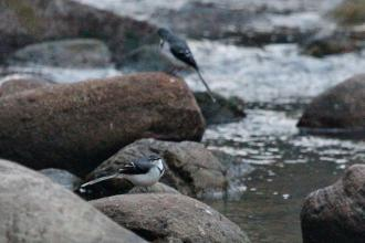 Mountain Wagtails