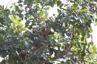 Red-backed Mannikin nest
