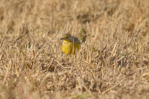 Yellow-throated Longclaw-Decklan Jordaan