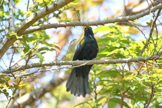 Black Cuckooshrike- male