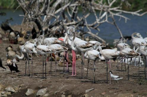 Greater Flamingos - pink-legged
