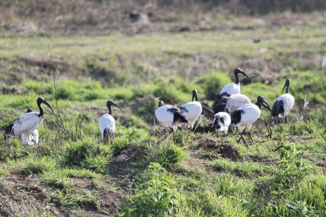African Sacred Ibis - a small group