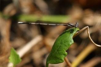 Salisbury Sprite damselfly (female)